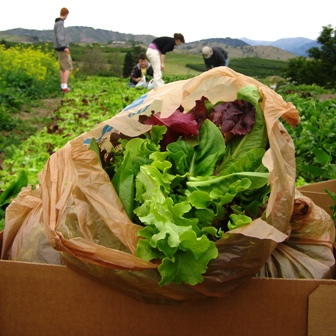 Harvest  Lettuce  Bag